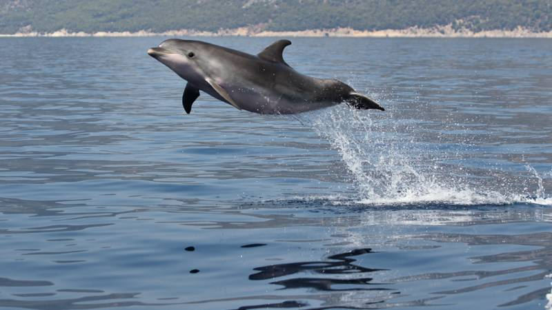 Bottlenose dolphin leaping at high speed