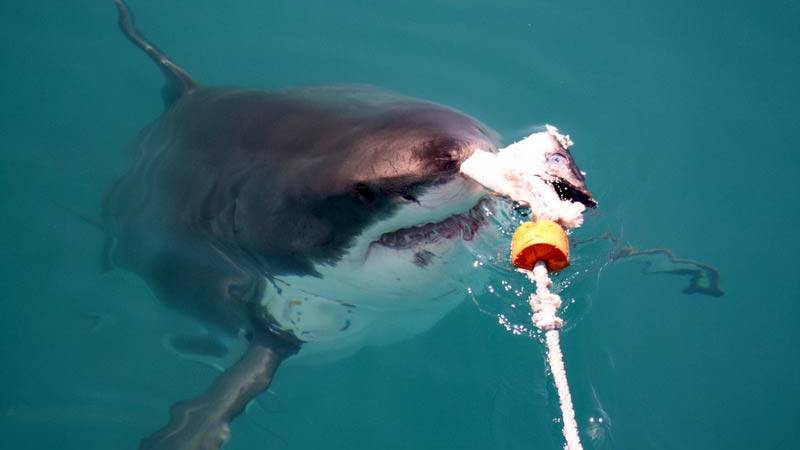Shark Conservation Assistant
