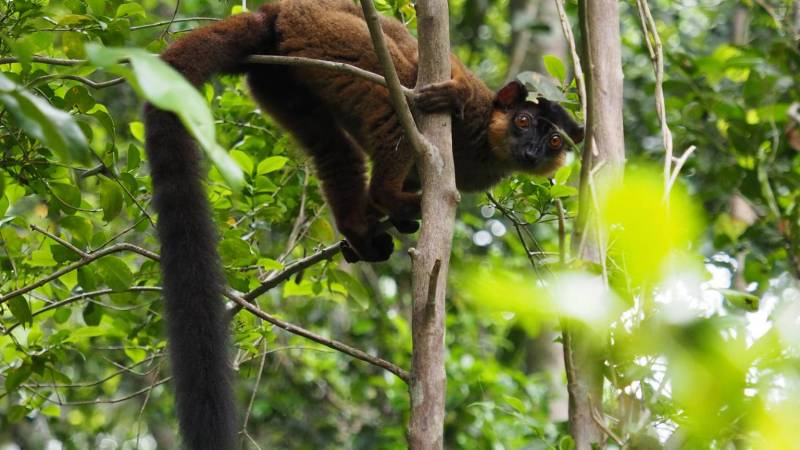 Male collared lemur