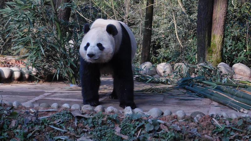 Giant Panda Conservation