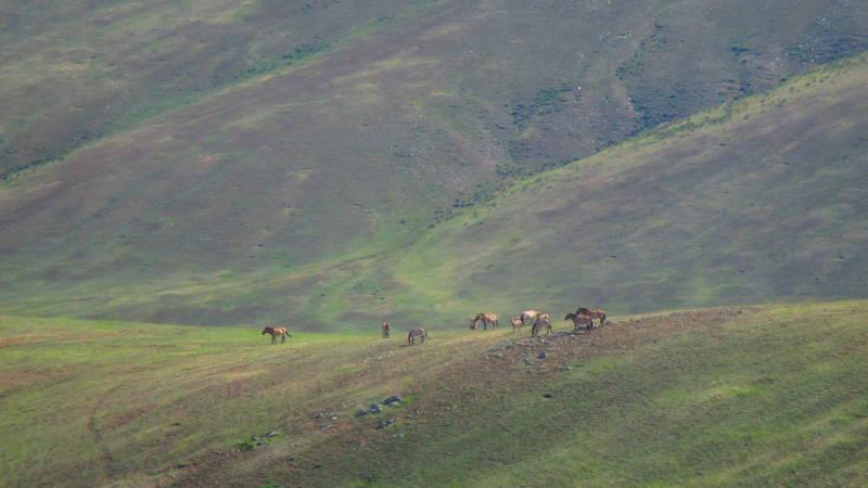 Takhi on the Mongolian steppe.