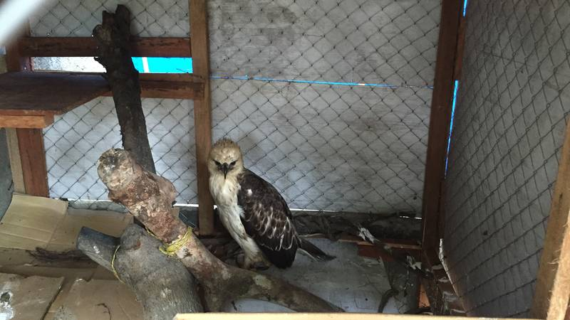 Injured hawk rescued in a local village