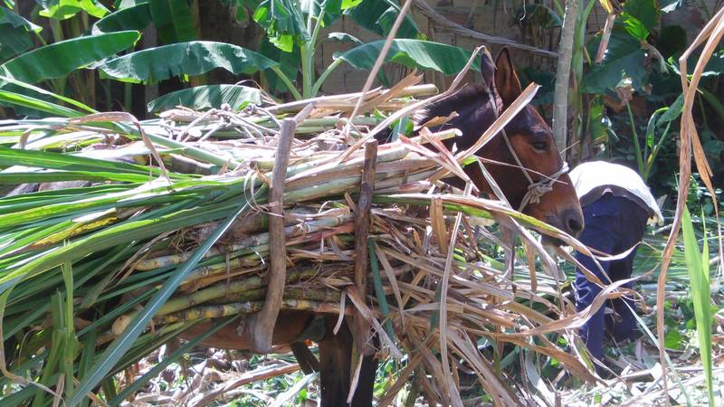 transporting sugar cane in mules to be processed