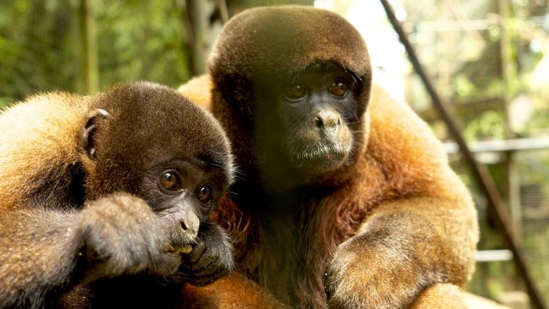 Woolly monkeys Rio and Diego