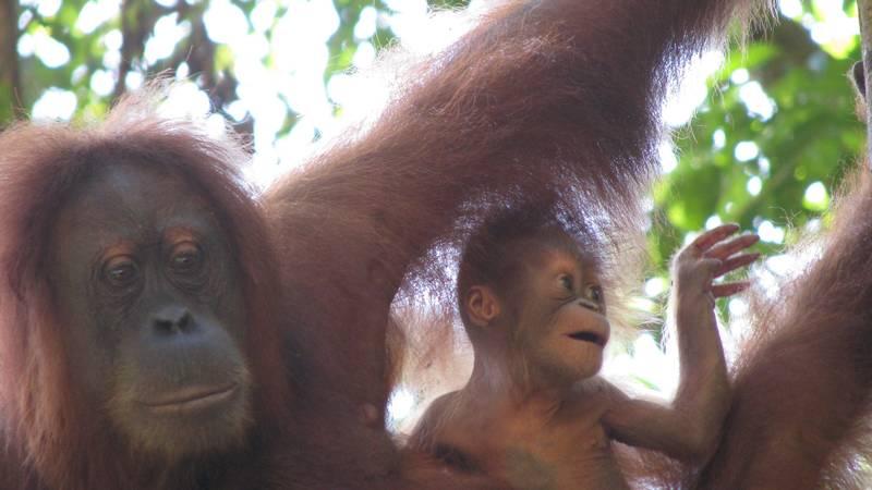 Project Assistant at Orangutan Project