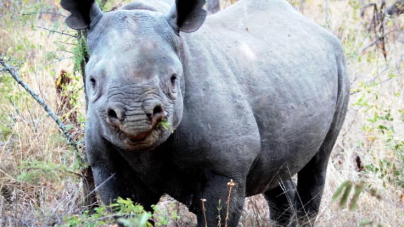 Black rhino (photo digitally modified)