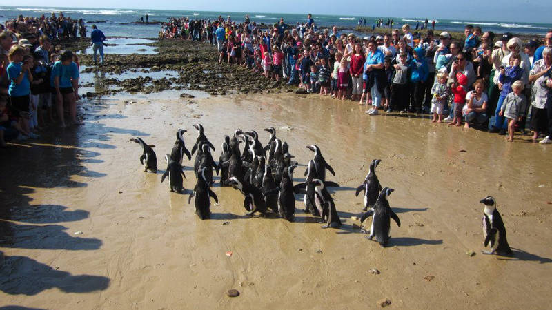 A penguin release