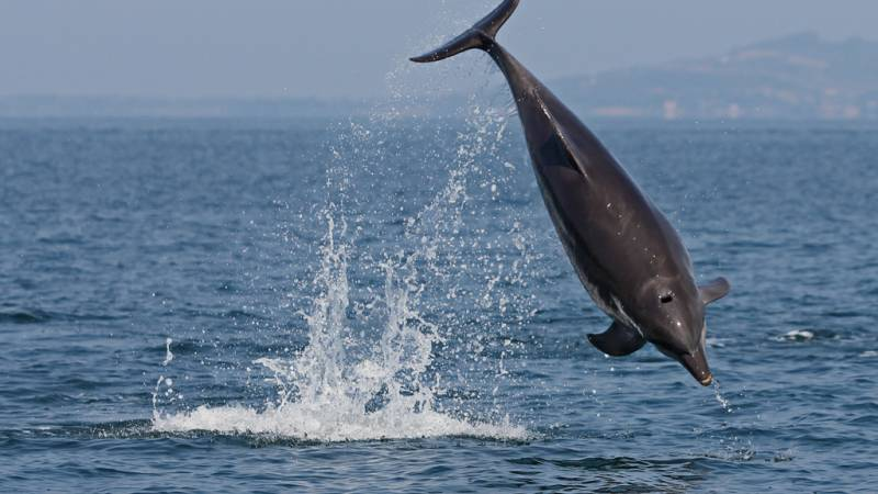 bottlenose dolphin leaping laterally