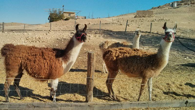 Working at a Desert Alpaca Farm