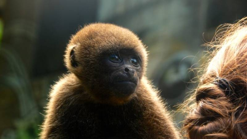 Baby woolly monkey with caretaker