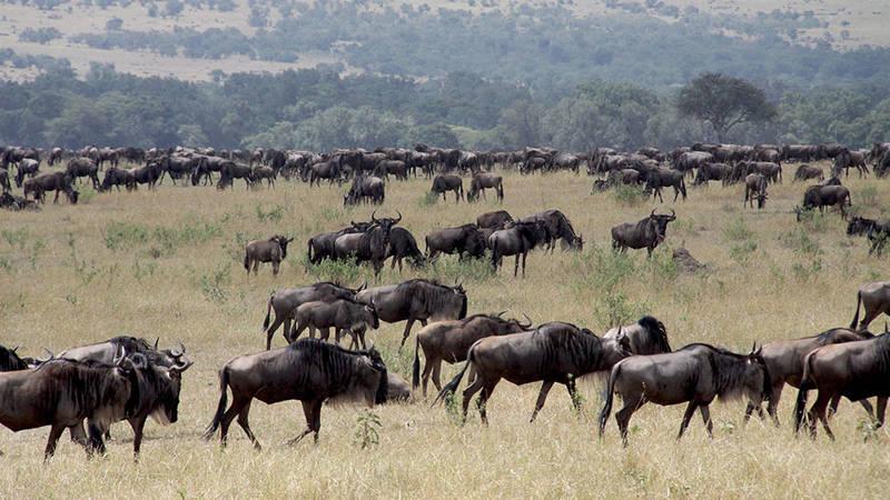 Great migration Serengeti