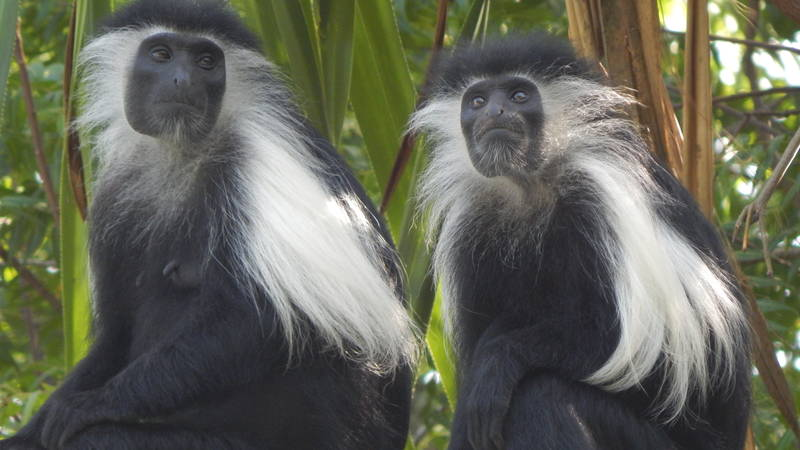 Wild Colobus at the Centre