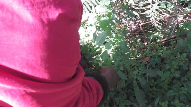 Forest Herbs Harvesting