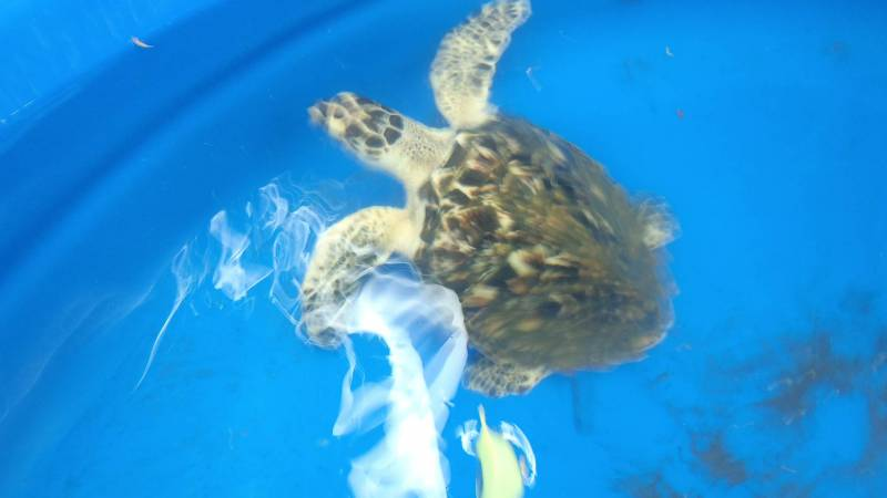 A hawksbill turtle receiving care.
