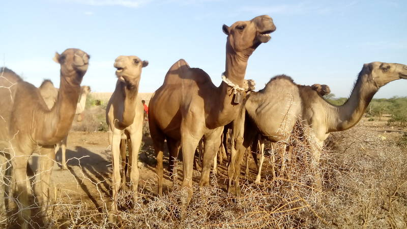 Many pastoralists have herds of camels