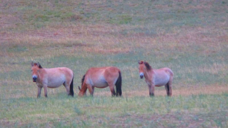 Takhi, Mongolian Wild Horses.