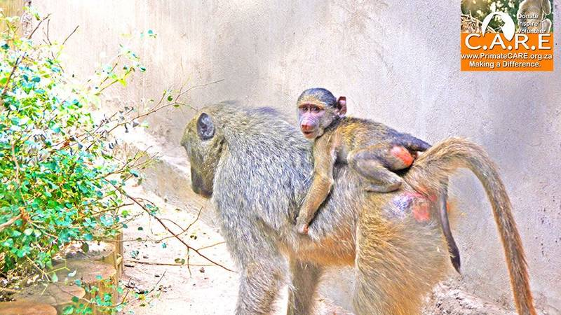 Bonding orphans to surrogate baboon mothers