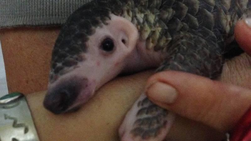 Baby Pangolin orphan