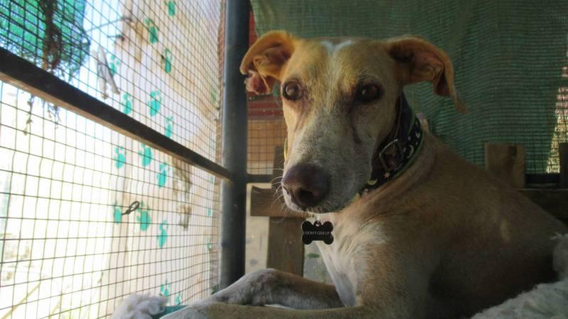 A rescued Galgo: Lucas
