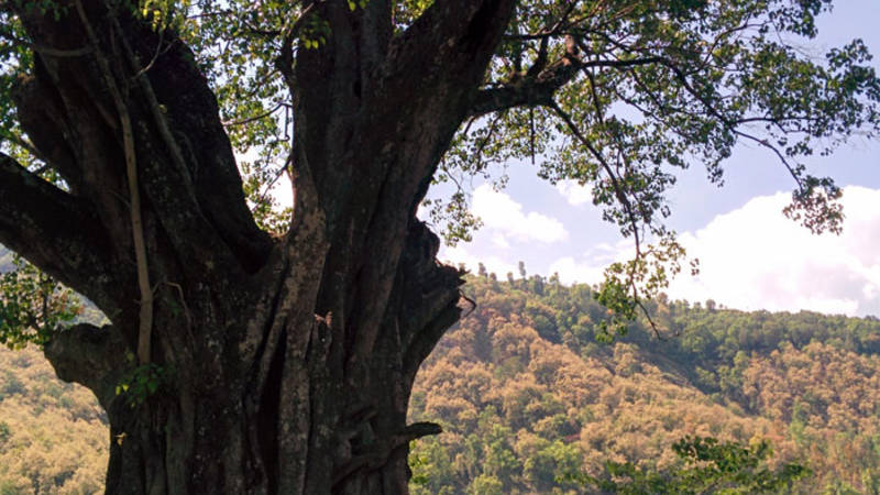 a big tree in village