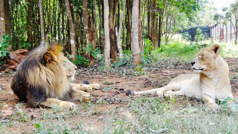 Bella & Simba, our resident lions