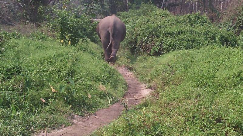 An elephant walks peacefully in the forest