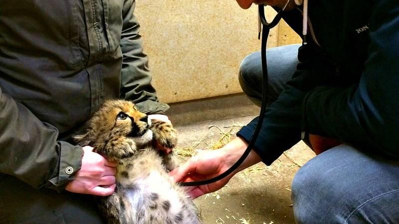 Clinical exam of a cheetah cub
