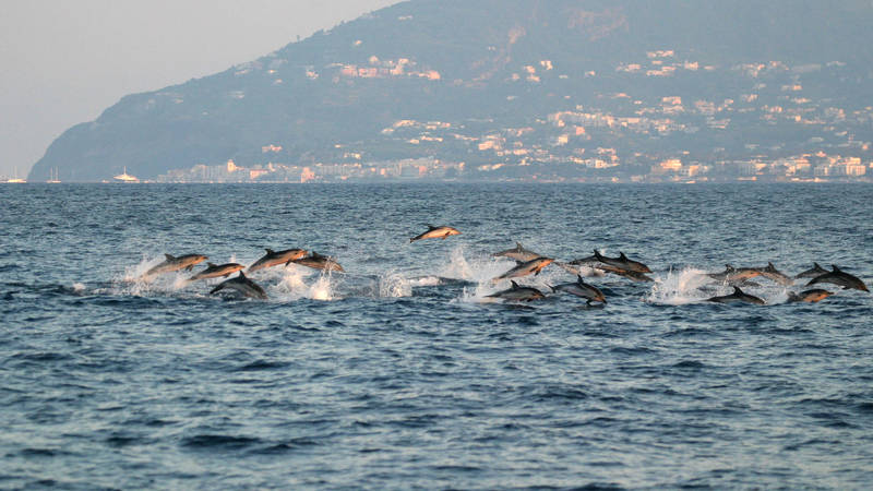 striped dolphins off Ischia