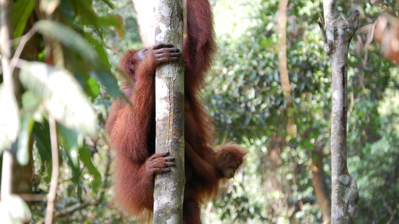 Orangutan Research & Conservation