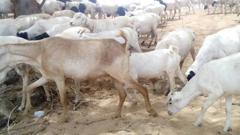 goat herd of the local pastoralists