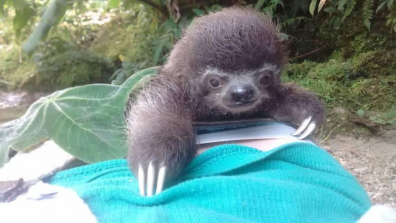 Baby sloth Ali
