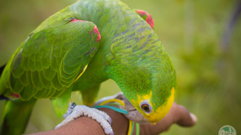 Releasing endangered parrots into the wild