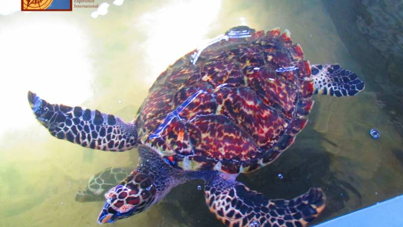 A critically endangered hawksbill turtle.