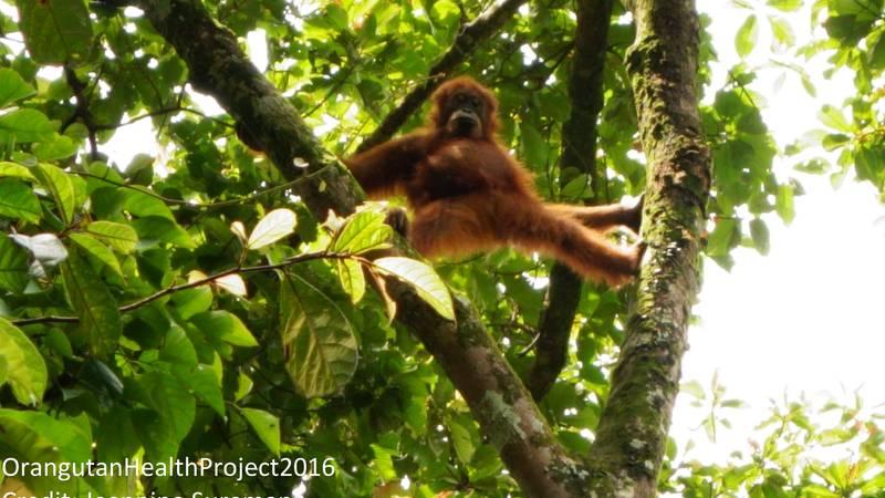 Baby orangutan displaying/shaking trees