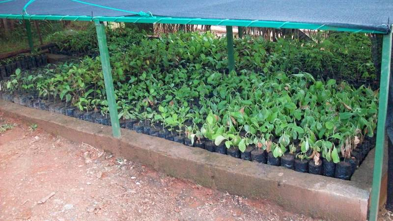 Seedlings in hardening nursery