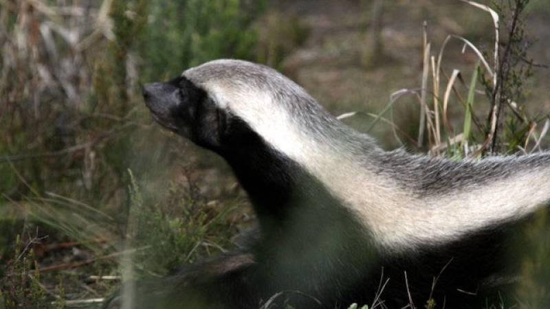 'Badgie' or Honey Badger