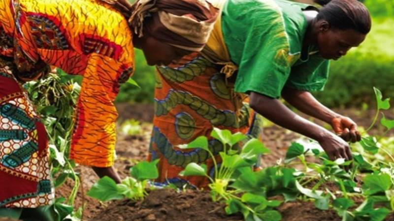 women planting sweat potatoes.