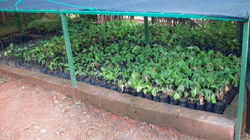 Seedlings in hardening nursery
