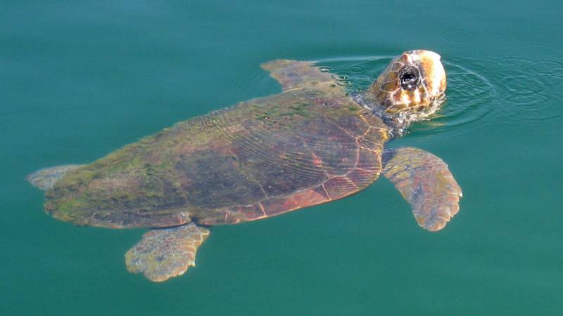Loggerhead sea turtles are frequent in the Gulf