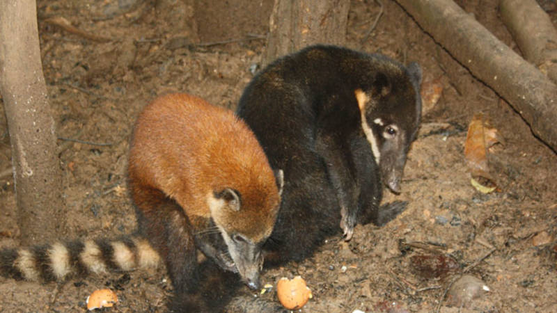 Coatis at the animal rescue center