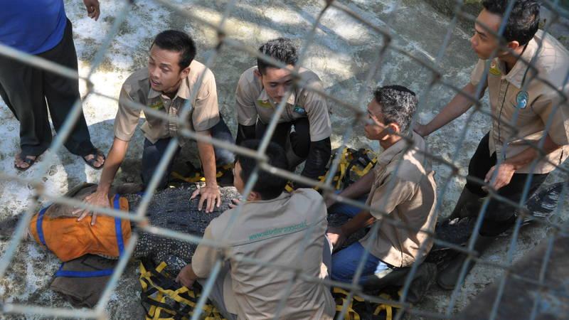 Rescued crocodile