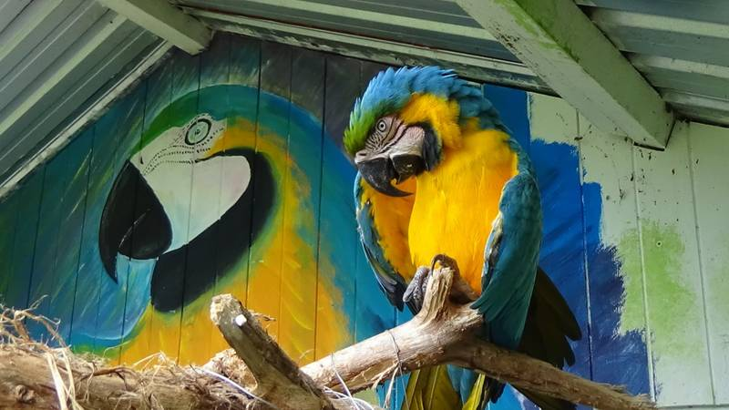 Volunteer favourite blue and yellow macaw Malcol