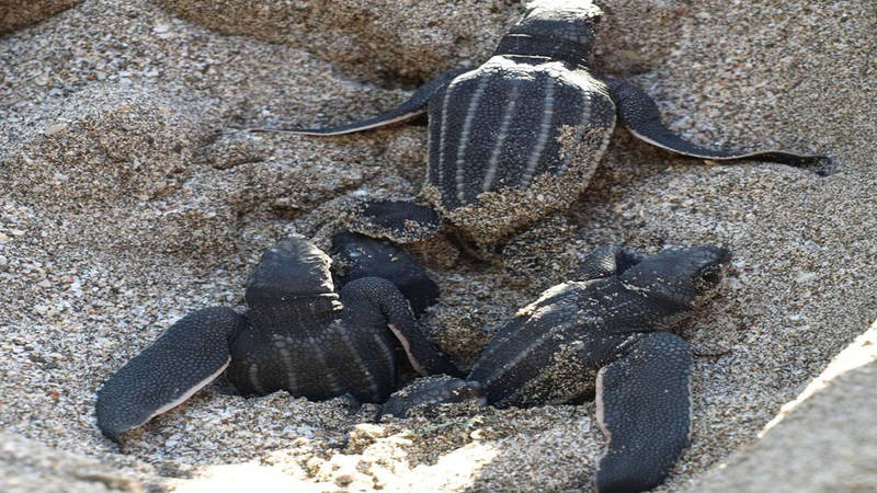 Leatherback Sea Turtle Protection