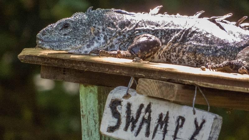 Swampy, probably the oldest iguana of the island