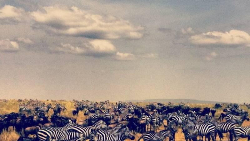 Volunteering with Zebras