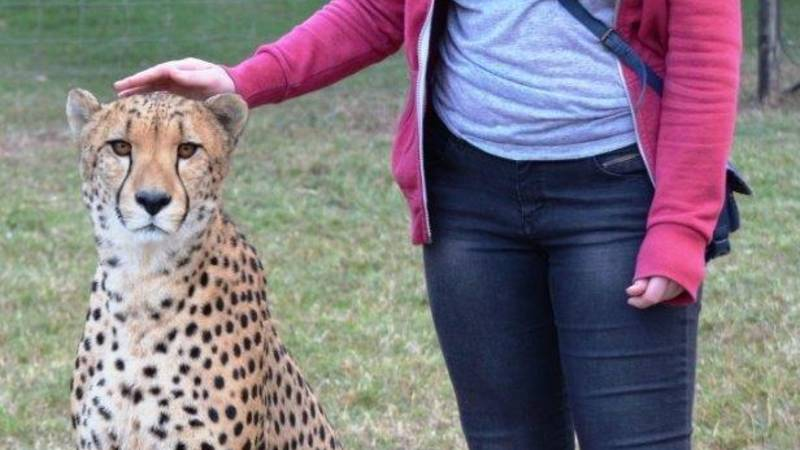 Cheetah breeding programme