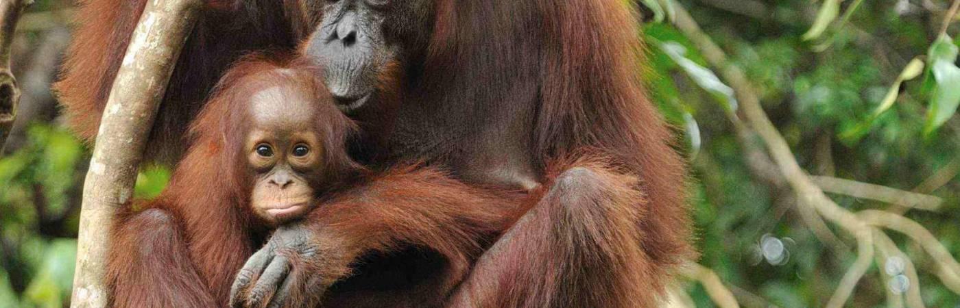 Orangutan Research & Conservation