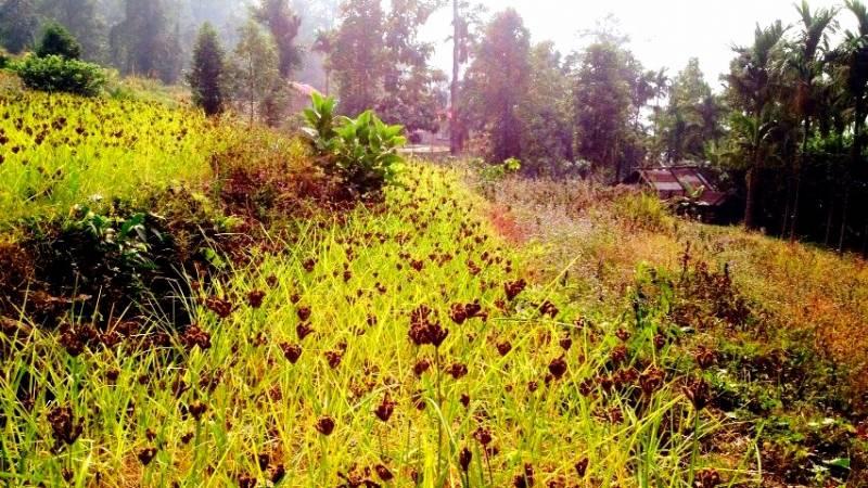 our millet harvest