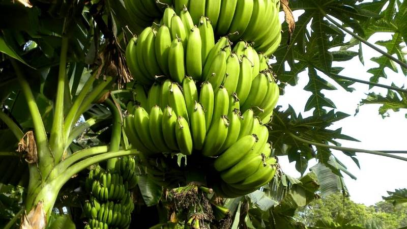 Delicious plantain!