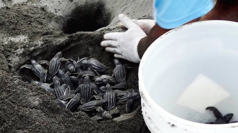 Save Turtles In The North Of Limón